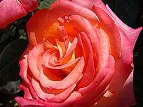 盛夏里的鲜红的月季花儿