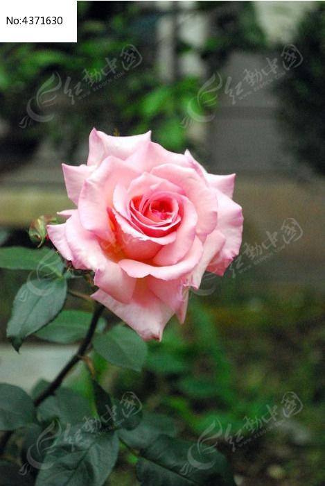生物世界 花草 JPG 花朵 花卉 花芯 花苞-一枝开得正好的粉色玫瑰图片图片