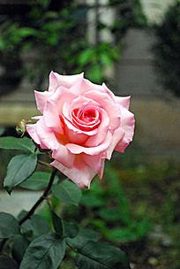 一枝开得正好的粉色玫瑰