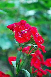 一枝小红花