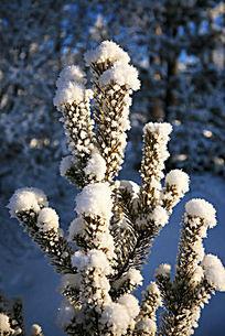 幼树树枝晶莹的霜雪