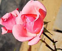 单恋一枝粉嫩的月季花