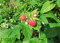 大兴安岭种植的树莓