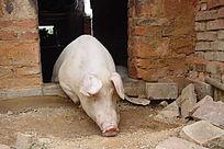 探出半个身子的猪