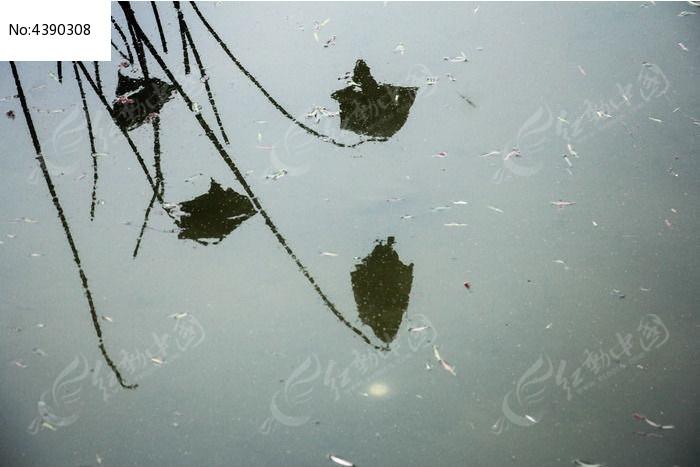原创摄影图 动物植物 树木枝叶 残荷倒影