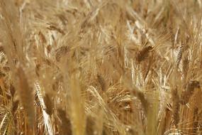 丰收的大麦