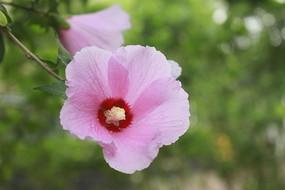 粉色的花朵