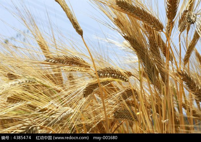 金黄大麦庄稼地