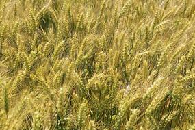 麦田颗粒饱满丰收在望