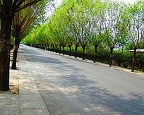 马路两侧的整齐的树木