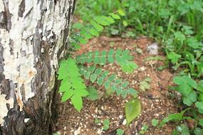 树缝中生长的小树枝