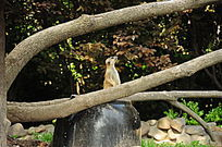 抬头张望的节尾狐猴