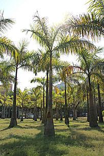 阳光下的椰子树