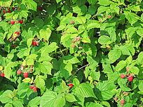 种植的树莓