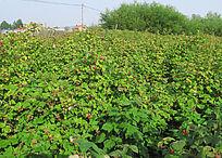 种植园的树莓