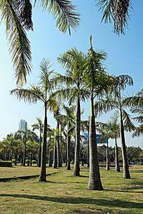 珠海的椰子树
