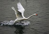 准备飞翔的白天鹅