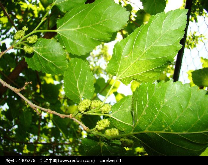 原创摄影图 动物植物 花卉花草 桑椹的树枝和叶子  请您分享: 红动网