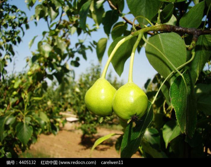 原创摄影图 动物植物 花卉花草 树上的水果特写  请您分享: 红动网