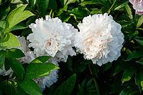 两朵白芙蓉花朵