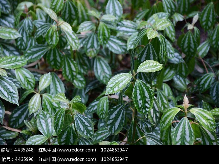 原创摄影图 动物植物 花卉花草 绿白条相间的叶子  请您分享: 红动网