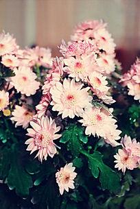 叶子上簇拥的粉色菊花