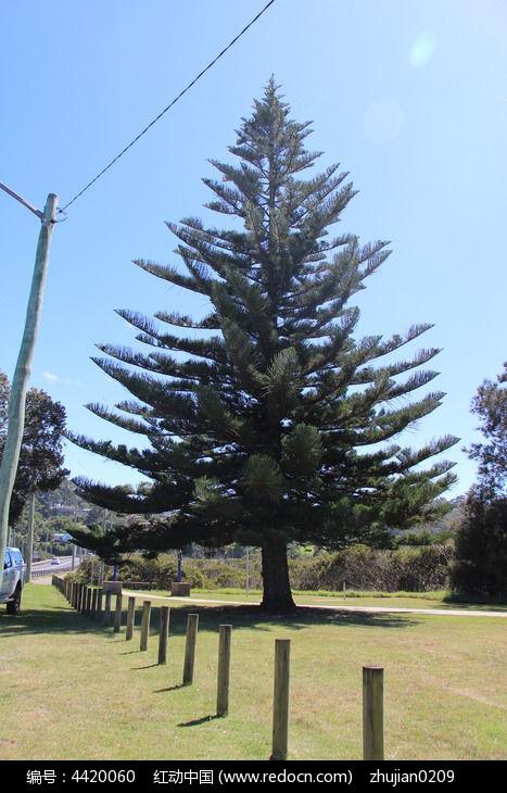 一颗松树图片,高清大图_树木枝叶素材