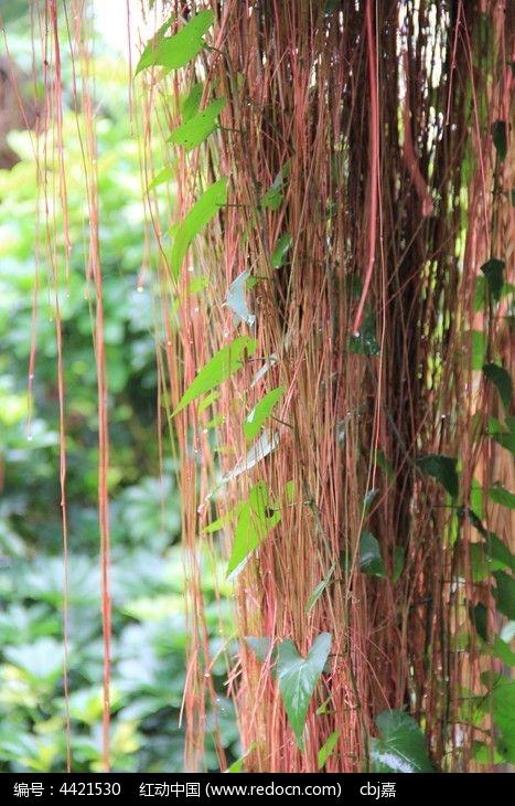 原创摄影图 动物植物 树木枝叶 雨中的吊藤
