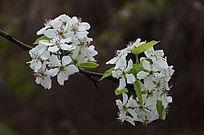 枝头上的梨花