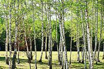 白桦林自然风景