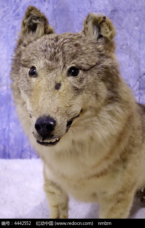 草原狼标本图片,高清大图