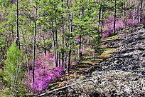 火山岩上的杜鹃花和森林