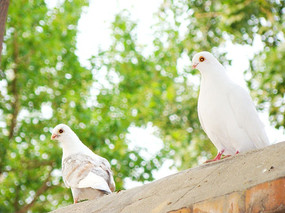 墙头上的两只鸽子