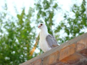 墙头上灰白花色的鸽子