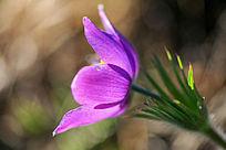 野生花卉白头翁
