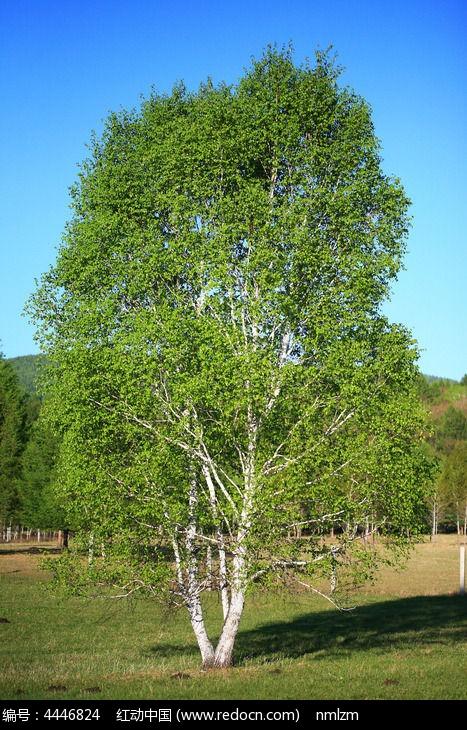 原创摄影图 动物植物 树木枝叶 原野白桦树  请您分享: 红动网提供