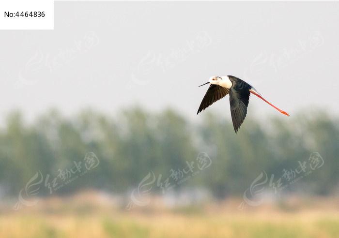 飞行的黑翅长脚鹬图片,高清大图_空中动物素材