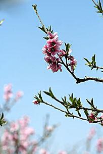 挂在枝头的粉色桃花