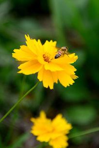 黄花上采蜜的蜜蜂