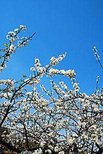 开满枝头的白色樱桃花