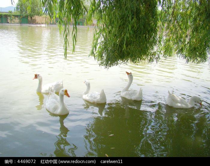 群鹅嬉戏图片,高清大图_水中动物素材