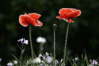 盛开的虞美人花朵