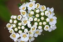 野生植物 珍珠梅