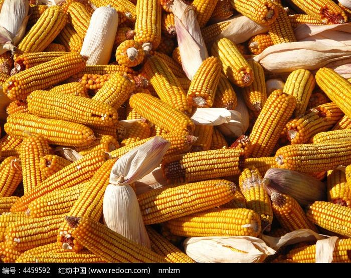 原创摄影图 qq怎么弄指定红包植物 农作物 玉米  请您分享: 红动网提供农作物精美