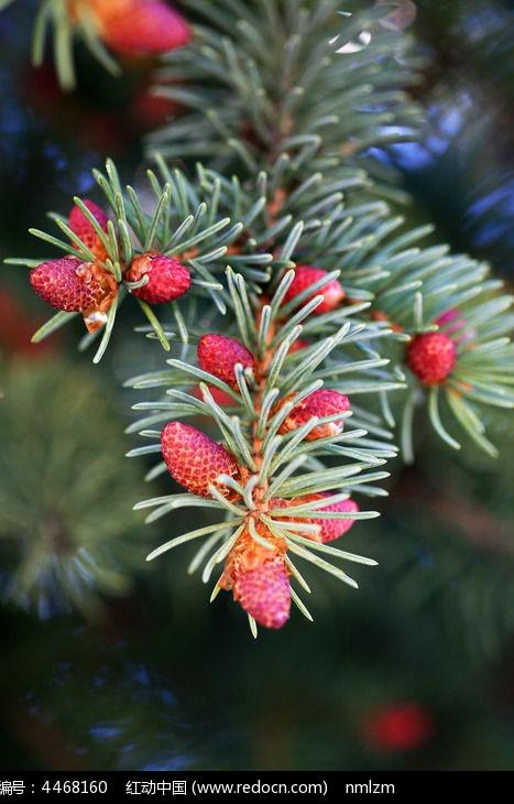 原创摄影图 动物植物 树木枝叶 云杉果实  请您分享: 红动网提供树木
