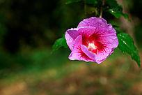 绽放的木槿花