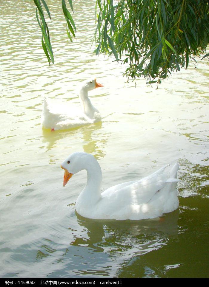 自由自在的白鹅图片,高清大图_水中动物素材