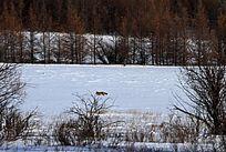 林海雪原上的狐狸