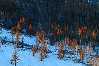 大兴安岭白桦林风景