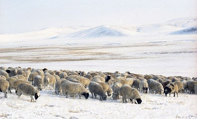 草原冬季的羊群